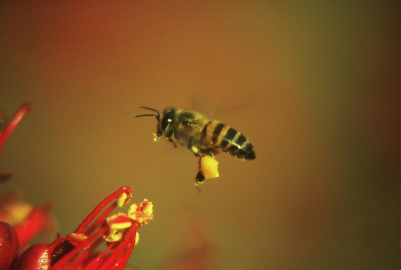Eg Bee Pollen