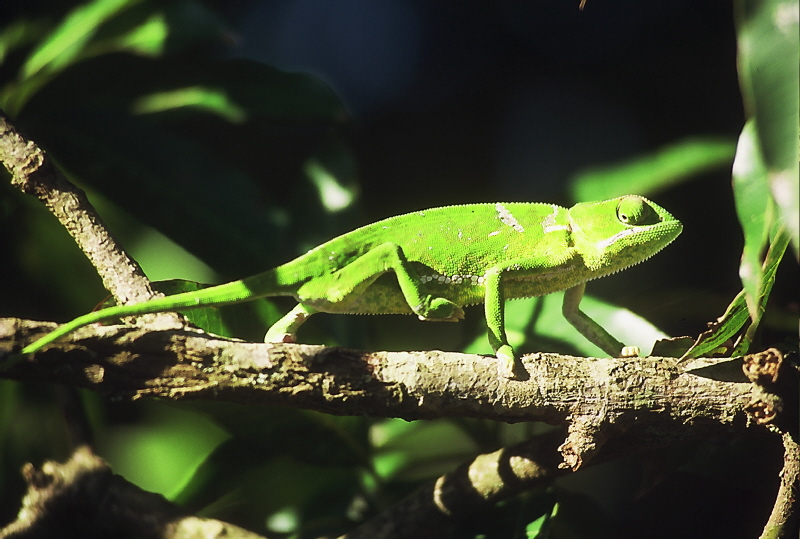 Eg Chameleon