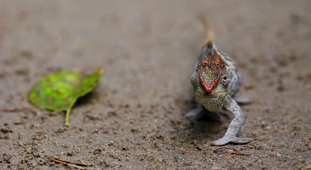 Mada Chameleon